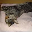 寝る鯖トラ